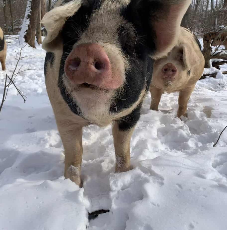 Regenerative organic pig farm